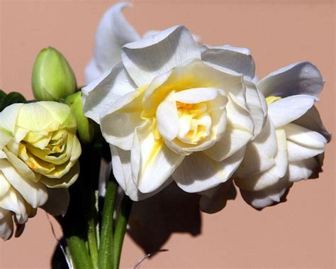 jonquil flower pictures beautiful flowers