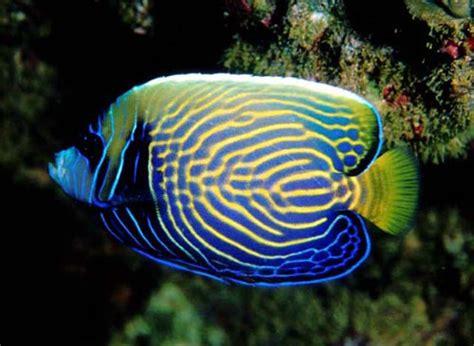 emperor angelfish  tropical fish