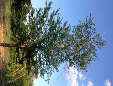locust tree honey locust tree caseysmartt com