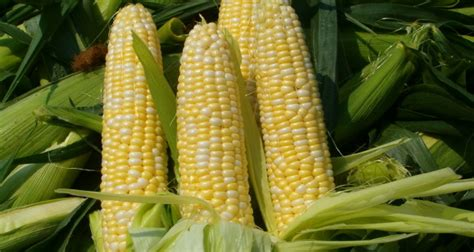 Tips on Best Practice Maize Production
