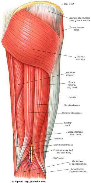 The tibialis anterior, which dorsiflexes the foot, is antagonistic to the gastrocnemius and soleus muscles, which plantar flex the foot. 362 best leg anatomy images on Pinterest | Fitness ...