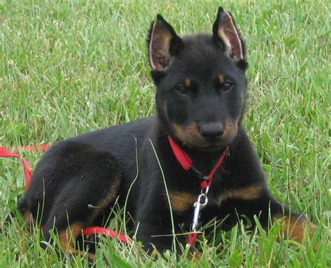 le berger for sale beauceron infoveto