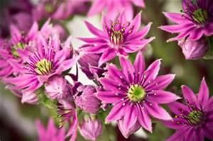 Blühende Stauden Winterhart : die beliebtesten steingartenpflanzen sch ne sorten ~ Buech-reservation.com Haus und Dekorationen