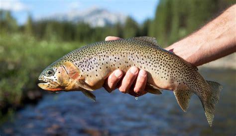 Yellowstone Lake Cutthroat Trout Threatened By Nonnative