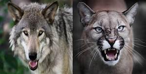 Wolf Vs Lion