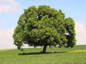 Linde Baum Steckbrief : 4teachers lehrproben unterrichtsentw rfe und unterrichtsmaterial f r lehrer und referendare ~ Orissabook.com Haus und Dekorationen