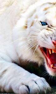 Fierce White Tiger Wallpaper 728 480x800 - Wallpaper - HD ...