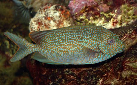 File:Goldspotted spinefoot Saltwater Fish 3008px.jpg ...
