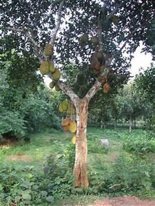 Jackfruit - Artocarpus Pages - Northwestern University