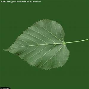 Linden Tree Leaves Textures - Tilia Tree Leaf Texture ...