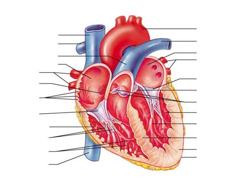 Anatomy of the Human Heart - Internal Structures