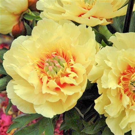 Peonija`Garden Treasure` | Peony.lv