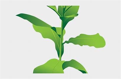 Tobacco Plant Clipart Transparent Bush Background Jing
