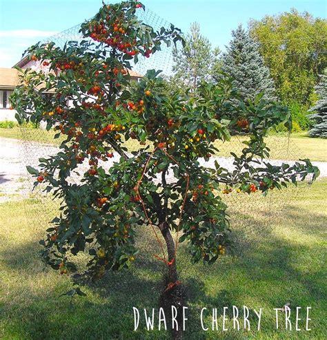 black gold cherry dwarf fruit trees dwarf fruit