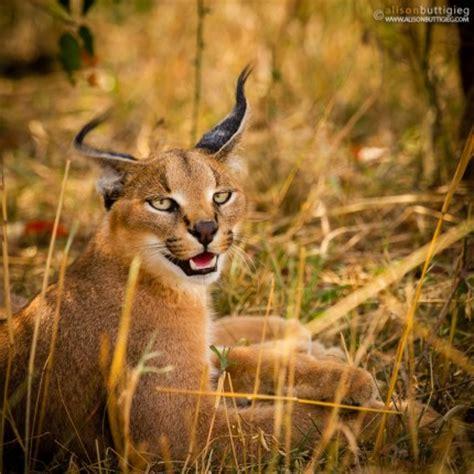 Servals Caracals Alisonigieg Travel And P Ography
