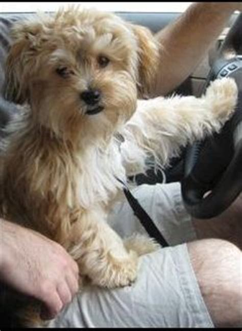 Do Bichon Yorkies Shed by Puppy Obsession On Chow Chow Puppies Yorkie