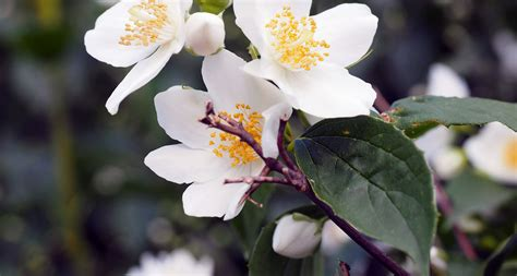 what is the state flower idaho state flower the syringa proflowers blog
