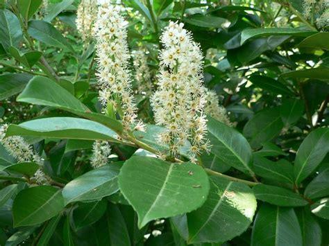 Prunus-laurocerasus