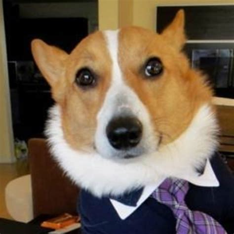 Corgi Lawyer Meme - we are ze korgi s page 3 off topic world of warships official forum