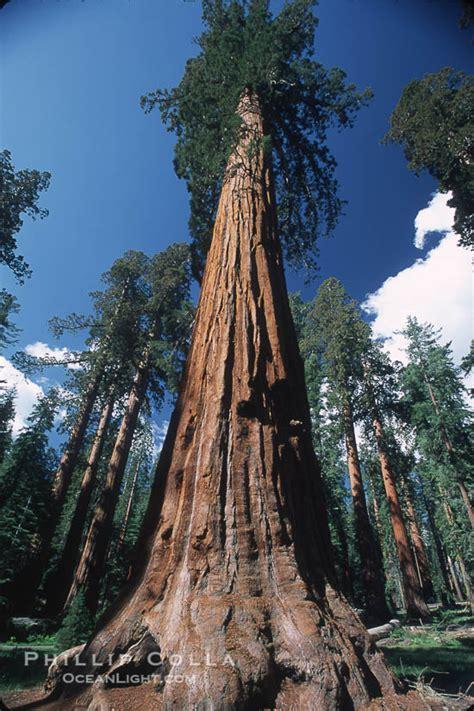 giant sequoia tree sequoiadendron giganteum photo