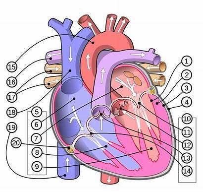 Heart Human Diagram Svg Cor Srdce Wikipedia