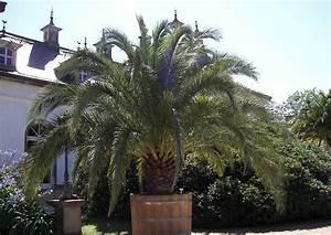 Phoenix Canariensis Pflege : berwinterung pflanzen k belpflanzen 51 ph nix canariensis ~ Lizthompson.info Haus und Dekorationen