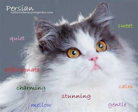 persian cat cat breeds encyclopedia