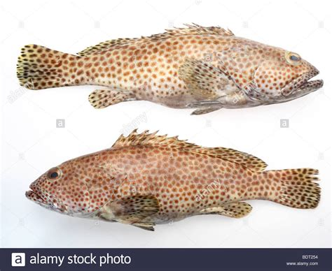 grouper fish spotted alamy