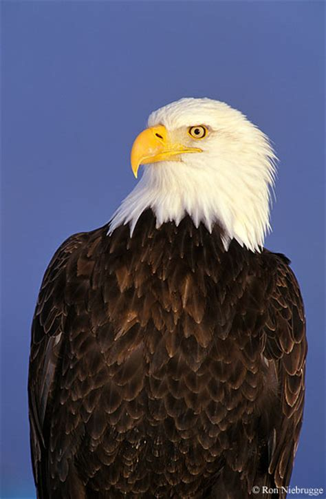 wild bald eagle pictures