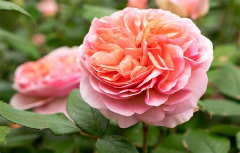 combine roses   plants