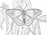 Butterfly Coloring Viceroy Pages Printable Drawing Moth Supercoloring Swallowtail Printables Cycle Cabbage Coloringbay Dibujo источник Categories sketch template