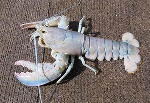 This Lobster Blue My Mind
