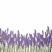 Vector Lavender Background
