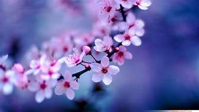 Blossom Cherry Flower Flowers Asian Japanese Floral