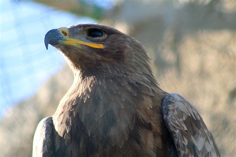 File:Steppe Eagle, Malta Falconry Centre.jpg - Wikimedia ...