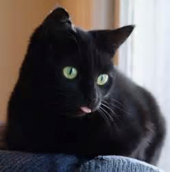 black cat pictures beautiful black cat cat pictures