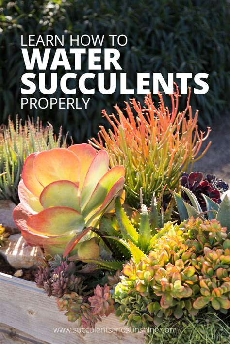how much to water succulents how to water succulent plants succulents and sunshine
