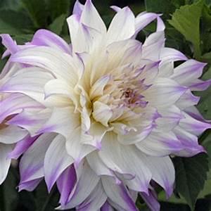 Dahlia 'Ferncliff Illusion' - Rose Cottage Plants