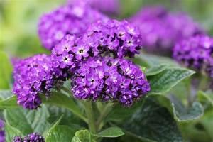 Rosen Im Topf überwintern : vanilleblume berwintern anleitung ist sie winterhart ~ Orissabook.com Haus und Dekorationen