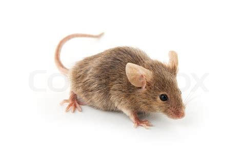 Maus Mit Käse Bilder by Small Mouse Isolated On A White Background Stock Photo