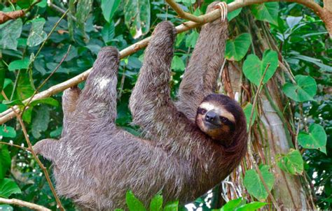 Tropical Rainforest Animals Sloth