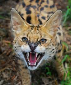 serval cats for cats international society for endangered cats