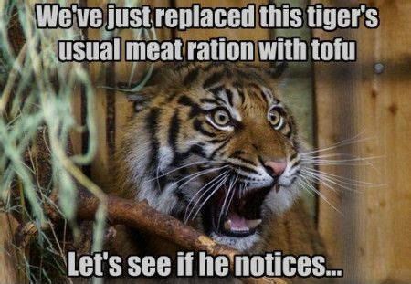 Funny Tiger Memes - pin funny little tigers animals httpfunshareme on pinterest