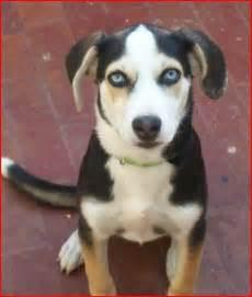 Husky Beagle Mix Puppies