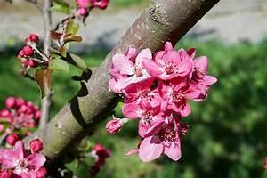 Rosa Blühender Baum Im Frühling : fr hling bl hender kirschbaum rosa lizenzfreie fotos ~ Lizthompson.info Haus und Dekorationen