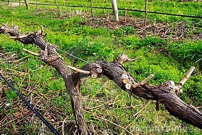 grape vines pruning when to do it and how winter solstices back into pruning awe wine group