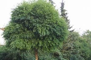 Kleine Bäume Bis 3m : kugelakazie gartenzauber ~ Articles-book.com Haus und Dekorationen