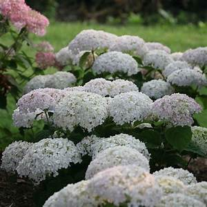 Invincibelle Wee White Hydrangea | Spring Meadow ...