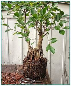 Bonsai Ficus Ginseng : clay king bonsai soil ~ Buech-reservation.com Haus und Dekorationen