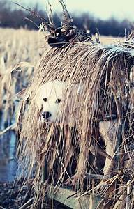 Duck dog (golden retriever) - Duck Hunting----looks like a ...